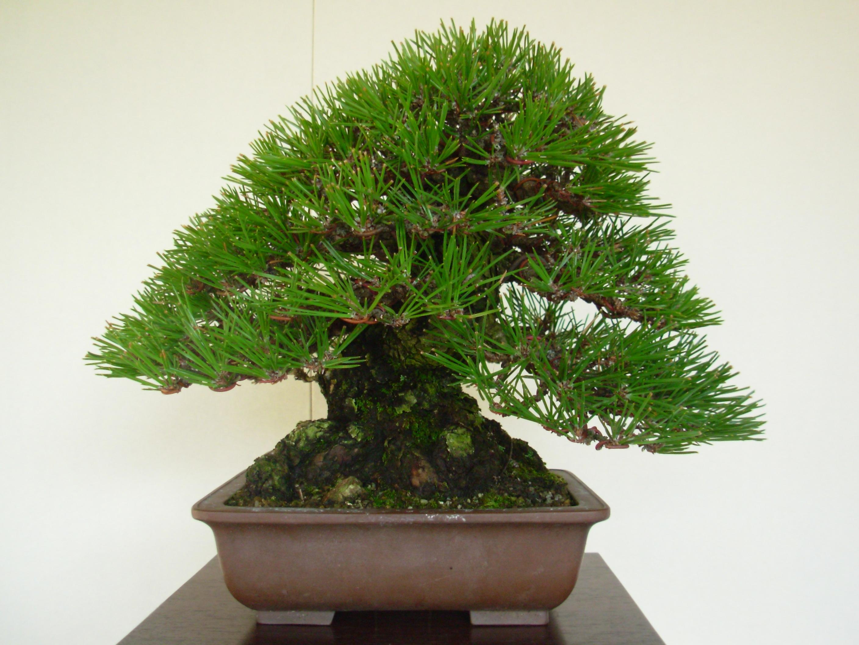 beautiful-bonsai-tree1