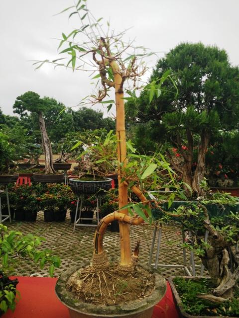 ngam-nhung-cay-bonsai-dang-sieu-doc-co-gia-tien-trieu1