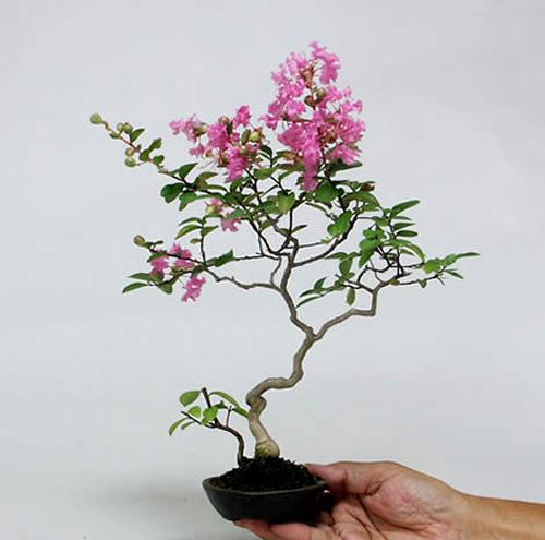 bonsai-mini1