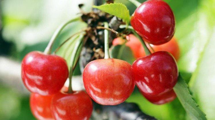 Sato-Nishiki-Cherries[1]